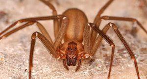 Vidět sen o hnědém pavoučí