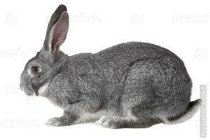 Co si o sivém zajíc sní?