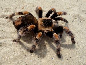 Jaký je sen o tarantule