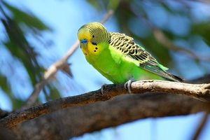 Způsoby znát věk vlnitého papouška