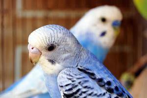 Tipy na to, jak snadné je vědět věk vlnitého papouška