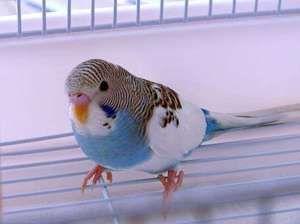 Jakými známkami zjistíte věk vlnitého papouška