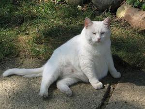 Bílá těhotná kočka