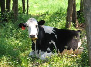 Nejčastější přezdívky krav