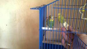Jak si papoušci zvyknou na ruce