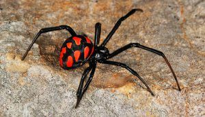 Spider caracurt: popis, lokalita