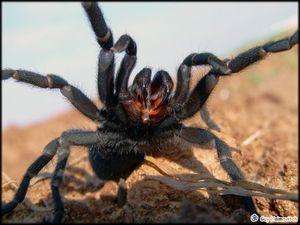 Popis pavoučí tarantule