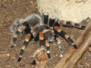 Jak vypadá tarantula?