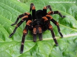 Jedovatá pavoučí tarantula