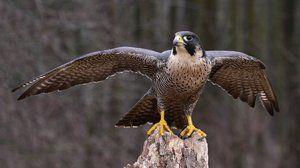 Který pták je nejrychlejší na světě