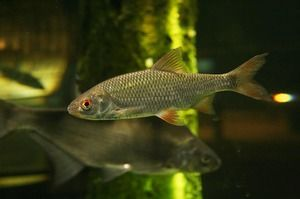 Malé ryby - roach