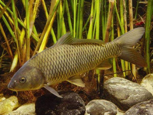 Sladkovodní ryby kapry