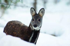 Taiga pižmo jelena