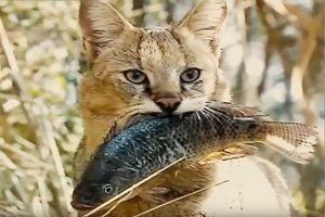 CATTLE CAT nebo Swamp of Raven, dravá kočičí rodina
