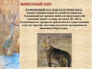 Rajská kočka nebo rys močálek - dravý savec