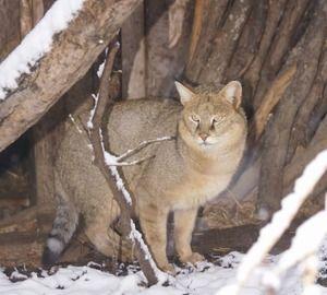 CATTLE CAT nebo bažina Potkani jsou dravý savec z rodiny koček