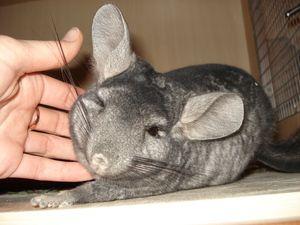 Chinshalloo je poškrábaný za uchem