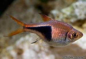 Třídění blotnotnistaya - akvarijní ryby