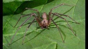 Hnědý pavouk