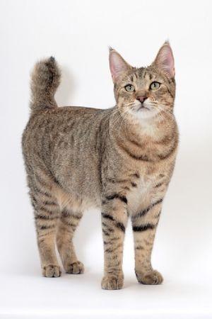 Popis plemene koček pixiobob