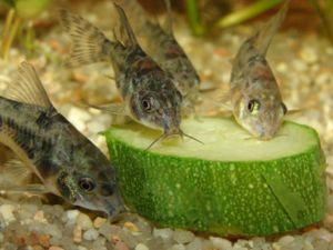 Chovu sumci v akváriu