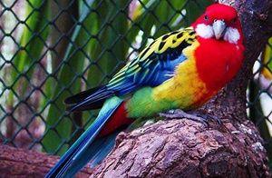 Jaké jsou druhy papoušků rosella