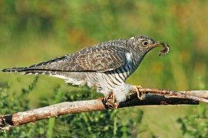 Stručný popis ptáků s kukačkou