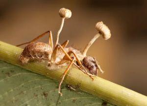 Houby z rodu Cordyceps zabíjejí mravenci, klíčí od nich