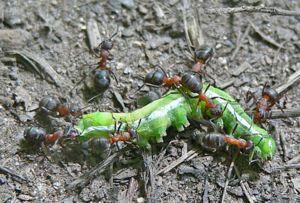 Mravenci jsou všežraví - krmí se mrkví, bílkovinami a zeleninou