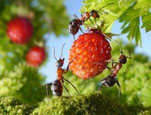 Na zahradě mravenci jedí hmyz, ale nebudou odmítat sladké bobule
