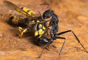 Mravenci mohou jíst hmyz, který je mnohem lepší než jeho velikost a síla