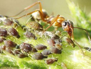 Zajímavá symbióza mravenců a mšic - mravenců se o ně stará kvůli lahodnému pádu