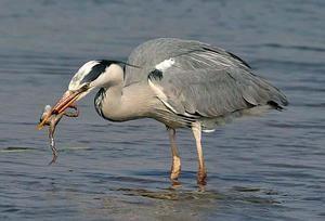 Egret jídlo
