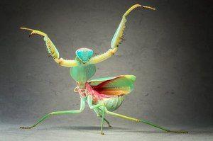 Kdo je obyčejná mantis?