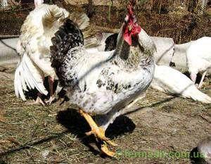 Chick Master Gray: podrobný popis plemene
