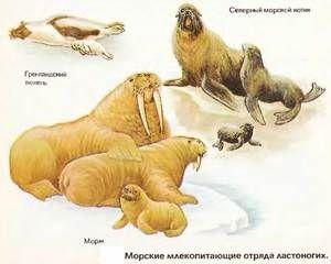 Pinniped savci: zástupci řádu plutvonožců