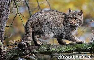Lesní kočka: způsob života evropské divoké kočky