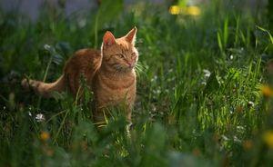 Způsob života evropské divoké kočky