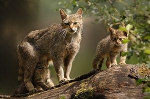 Životní styl divoké evropské kočky