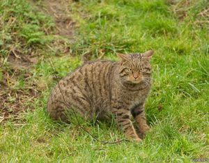 Habitat divoké evropské lesní kočky