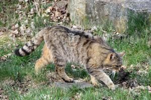 Lov divoké evropské kočky