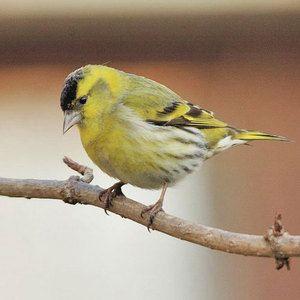 Bird-izhzh