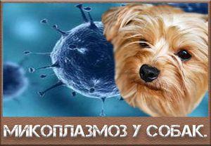 Mykoplazmóza u psů: symptomy a léčba