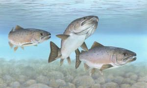 Losos - tři ryby