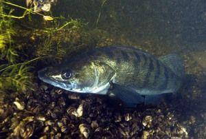 Pike ostcher je dravce