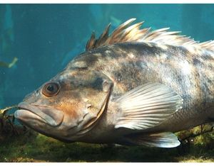 Mořské ryby - hlubinné ryby