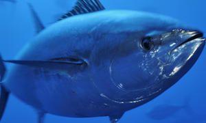 Velikost tuňáků