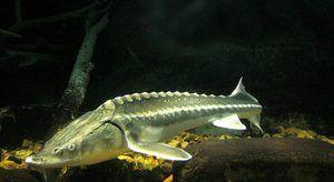 Beluga je velká ryba