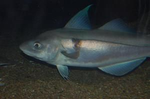 Treska škvrnitá, velikost ryb