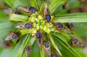 Létající hmyz - cikády jsou mezi divokými divy přírody